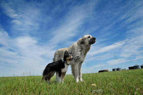friends dogs farm alberta blueskies togo bordercollie greengrass gyp 2652 gaurdiandog 52weeksfordogs 52wee