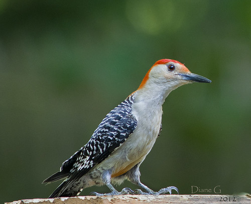 Red-bellied Woodpecker  9