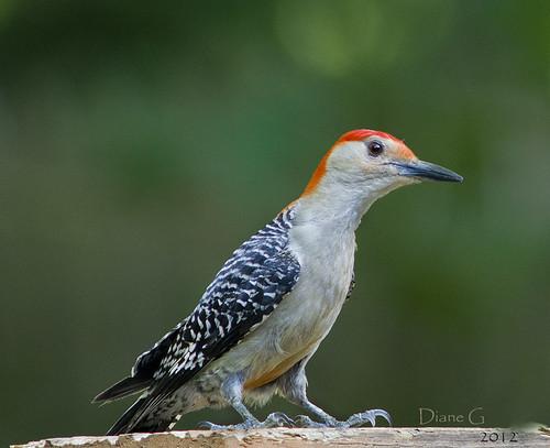 Red-bellied Woodpecker  9