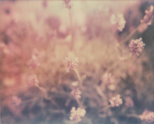 Lavender (again)