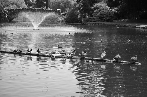 Little ducks lined up in a row by Madeleine_H