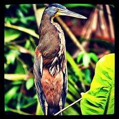 Amazingly beautiful tiger heron in Costa Rica!
