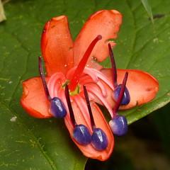 Melastomataceae of Ecuador