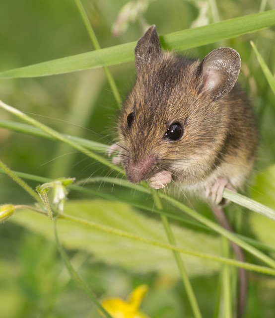 wood mouse in grass 2