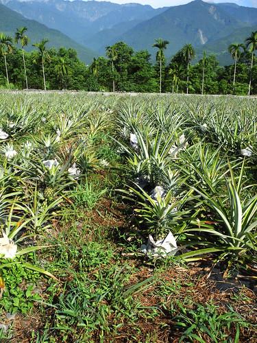 富興的有機鳳梨田孕育多種原生動物。