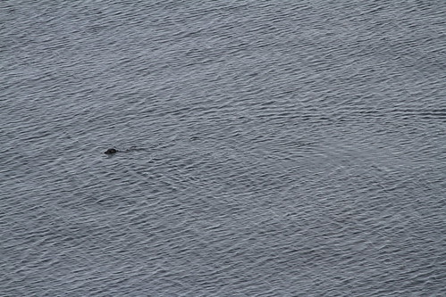 Leaving Glacier Bay - Sea Otter