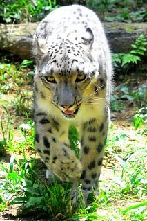 Image of ユキヒョウ. zoo 動物園 tamazoo tamazoologicalpark 多摩動物園