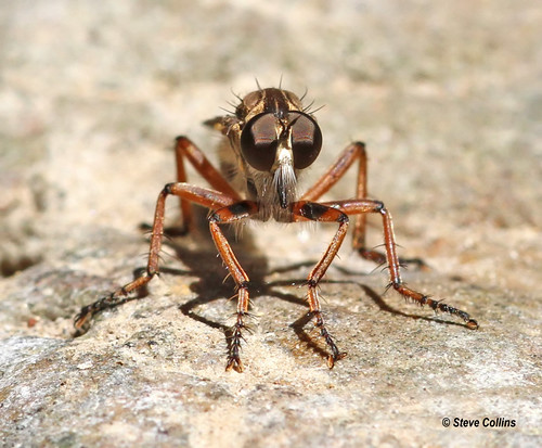ar robberfly asilidae clarkcounty machimus machimusantimachus