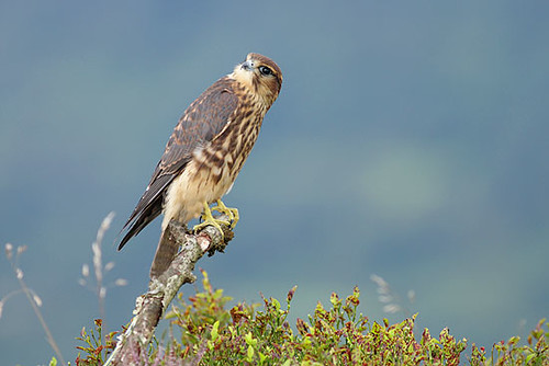 Male Merlin by Paul Miguel