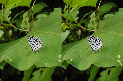 Taraka hamada, stereo parallel view