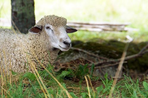 DSC01590 - Southdown & Cotswold Sheep