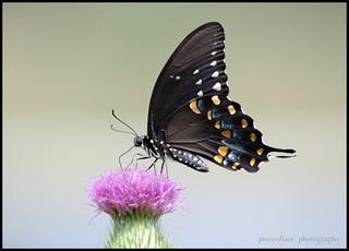 Black Butterfly Monday...
