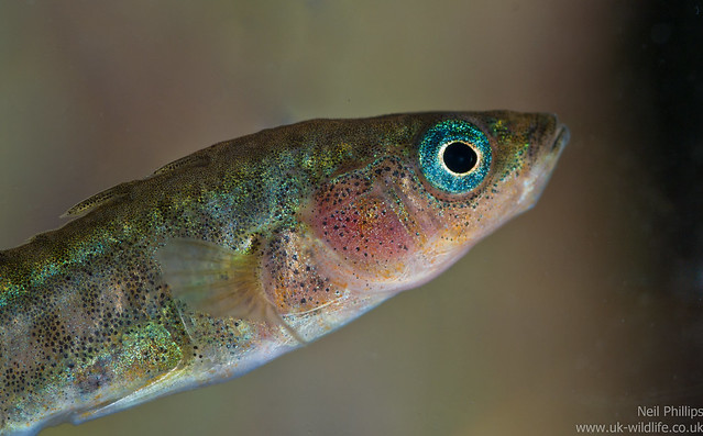 stickleback