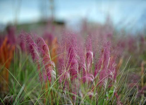 Muhlenbergia capillaris 'Pink Muhly Grass'