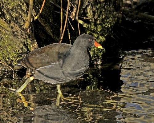 Moorhen in the low afternoon sun by Andy Pritchard - Barrowford