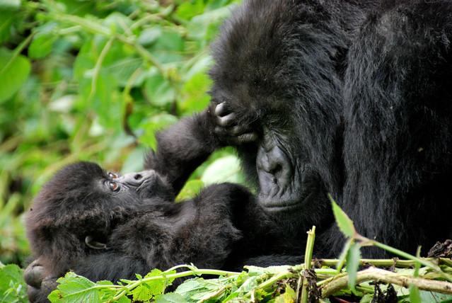 Madre de gorila de montaña y su cría en el Parque Nacional de los Volcanes. Ruanda.
