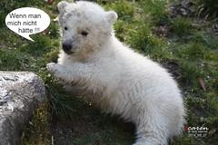 Polar Bears' Baby Talk