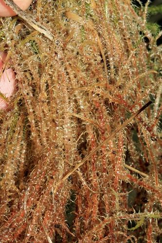 Springy Turf-moss 25828