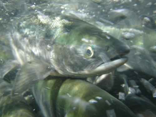 Sockeye salmon swim upstream in Yakutat, Alaska. (U.S. Forest Service/Nate Catterson)