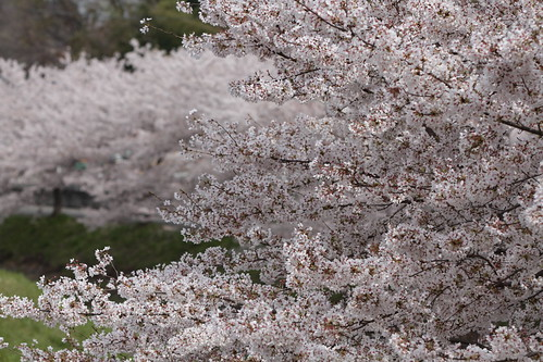 Cherry Blossoms (Akishino River, Nara, Japan)