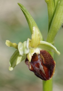 "Early Spider Orchid ""Ophrys sphegodes"""