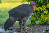 Bush Turkey 4