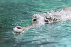 Gharial Swimming