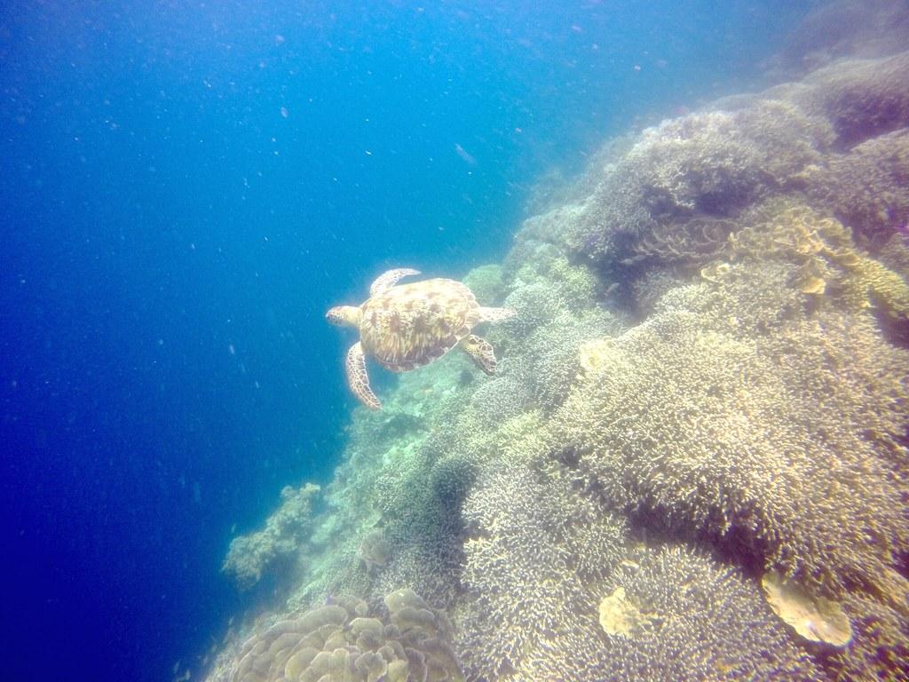 FOZZ_Moalboal_052016_Turtle2Tongo