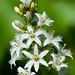 Ményanthe trifolié / Buckbean