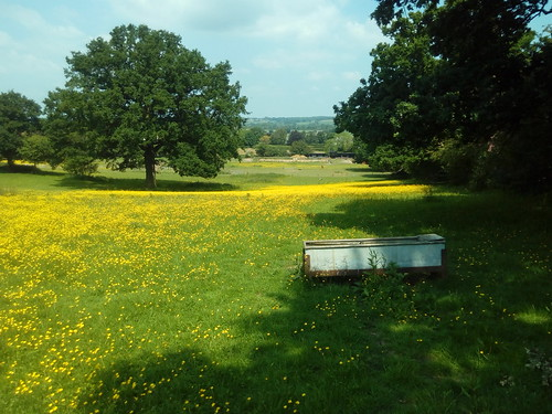 Oak, buttercups and trough