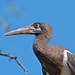 Small photo of Abdim's Stork (Ciconia abdimii)