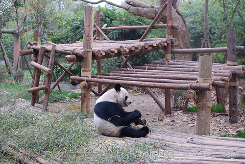 Pandas in Chengdu China 18