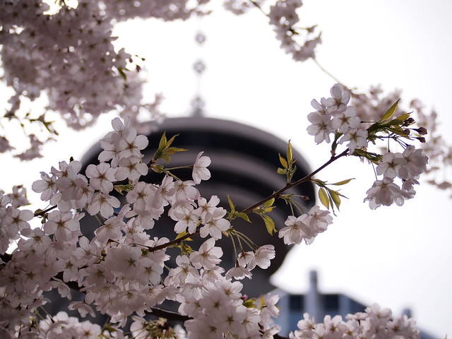 Cherry blossoms & Vancouver Lookout