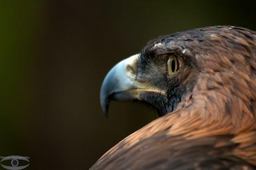 Curves Golden Eagle 1207
