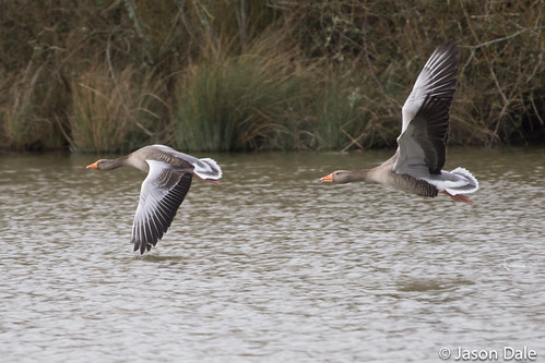 Grey Geese In Flight