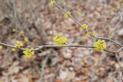Picture of a branch Spicebush, Lindera benzoin, showing the flower clusters along the branches. Taken at Bell Mountain Wilderness.