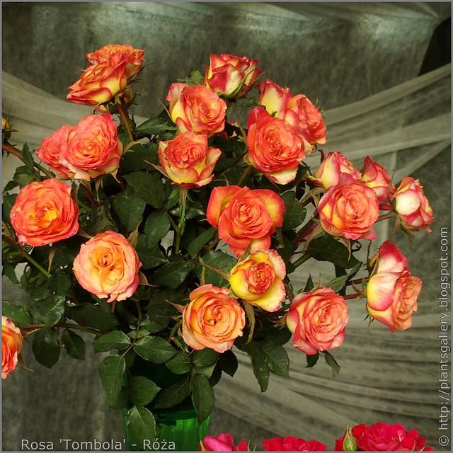 Rosa 'Tombola' - Róża 'Tombola'