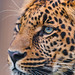 Profile portrait of a young leopard by Tambako the Jaguar