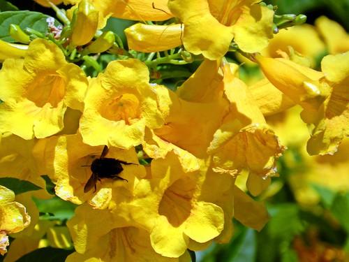 abejorro en guarán  amarillo (tecoma stans)