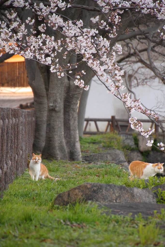 花見客を眺める猫2