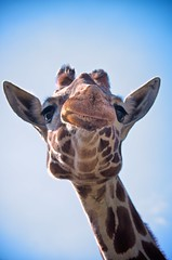 [Free Images] Animals 1, Mammals, Giraffes ID:201204291000