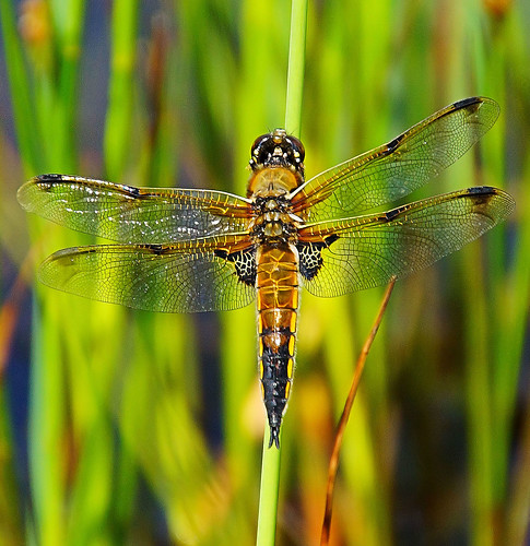 england insect wings eyes close dragonfly sony threesisters bryn chaser wigan fourspotted fourspottedchaser a65 mygearandme mygearandmepremium mygearandmebronze mygearandmesilver mygearandmegold mygearandmeplatinum mygearandmediamond sonya65 slta65