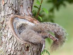 [フリー画像素材] 動物 1, 栗鼠・リス ID:201207041800