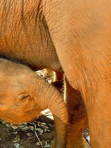 Baby Elephant - Pinnawala (by Queenie)