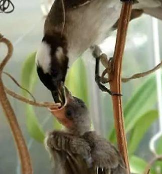 第五屆自然生命印象「水森活」攝影徵件/活力旺旺白頭翁 好孕到/吳芷香