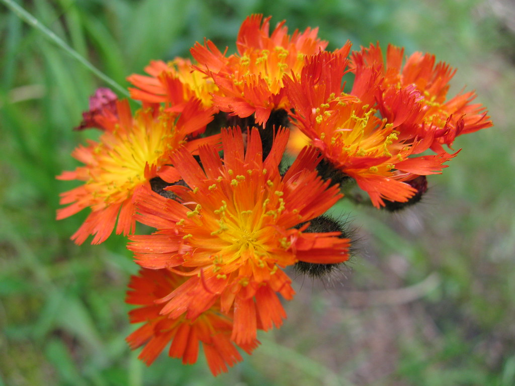 orange hawkweed at the campsite
