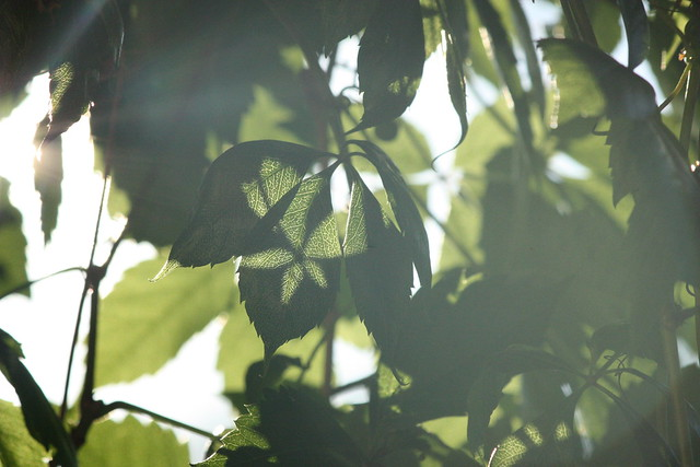 leaves and shadow