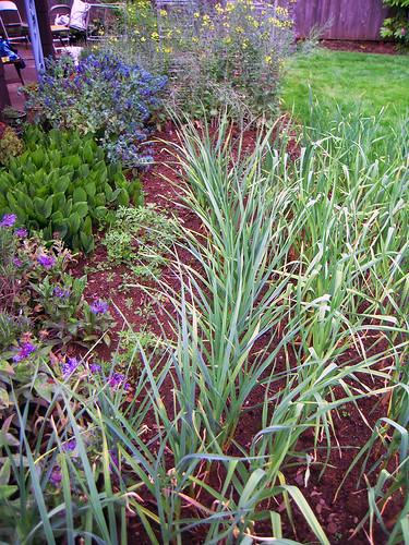 Garlic Plot