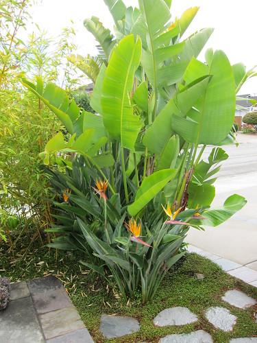 gian bird of paradise, blooming IMG_0735