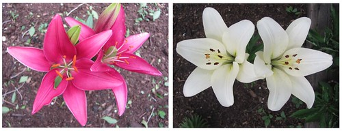 02 dark pink lilies and white lilies